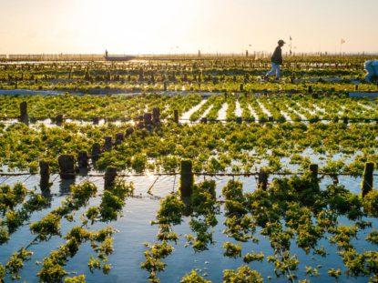 Algenproduktion Japan